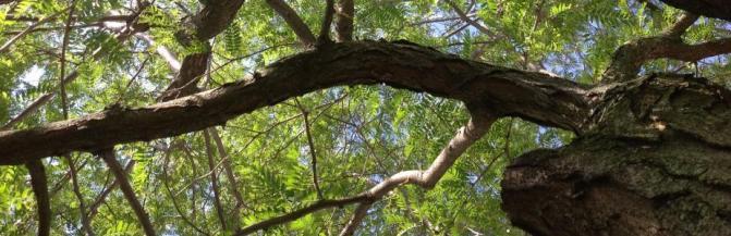 Thornless Honeylocust